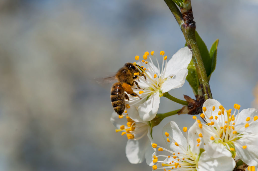 Honeybee on white plum flowers macro