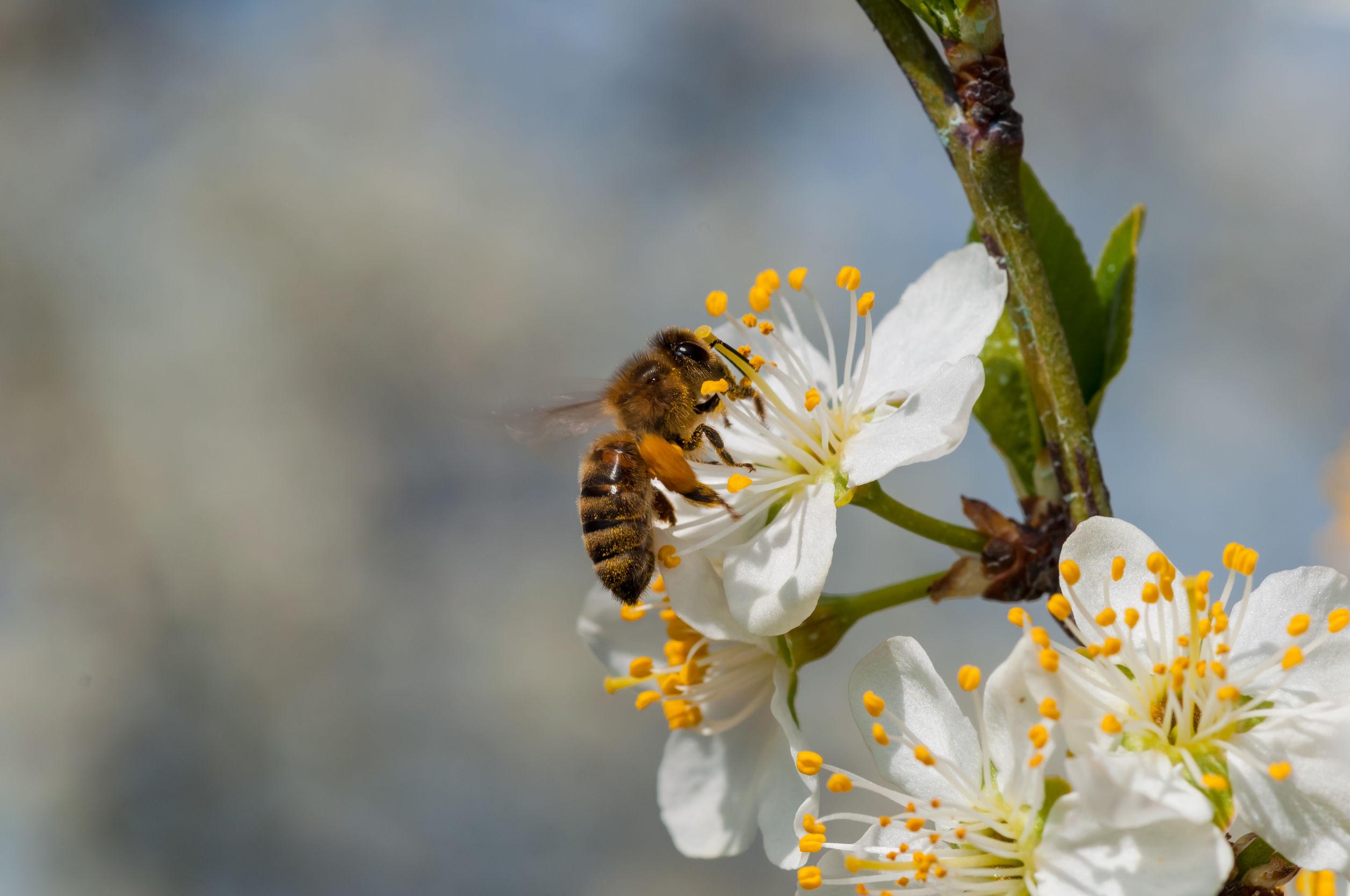 Honeybee on white plum flowers macro